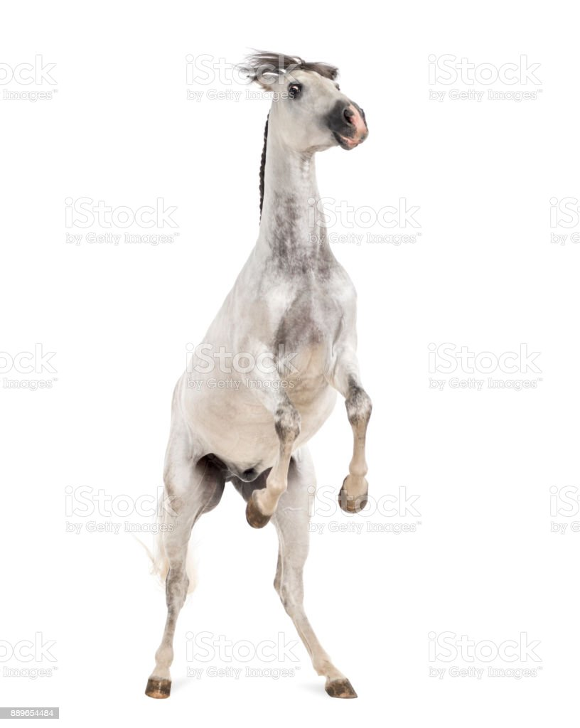 Andalusian horse rearing stock photo