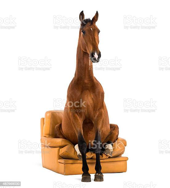 Andalusian horse sitting on an armchair picture id482969030?b=1&k=6&m=482969030&s=612x612&h=nji7agtiqcaivpbqawo3 oomp2otuo9pef17amg5bjy=