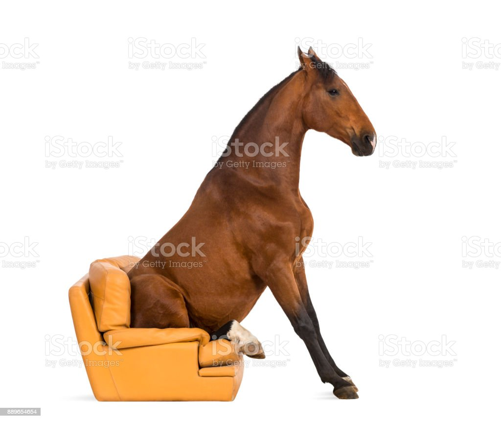 Andalusian horse sitting on an armchair stock photo