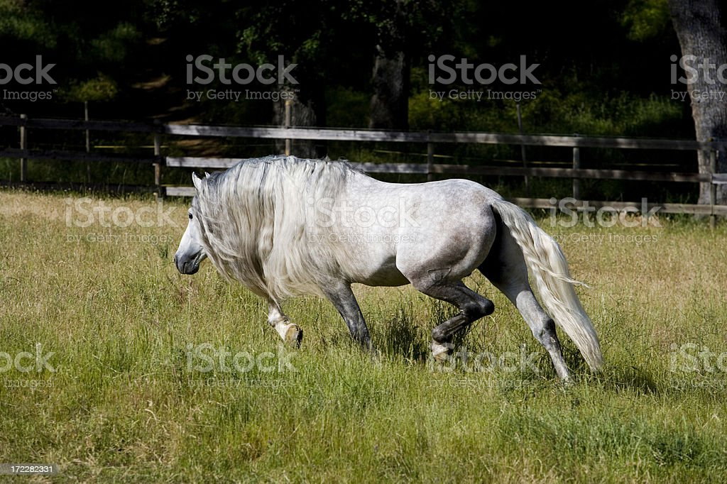 Andalusian Horse Stallion Pasture Green Grass royalty-free stock photo