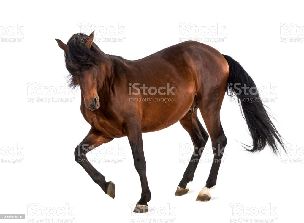 Andalusian horse trotting stock photo