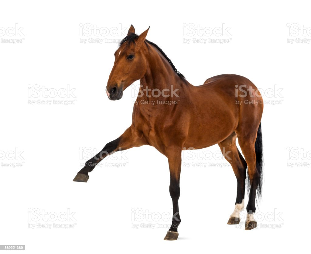 Andalusian horse with a leg up stock photo