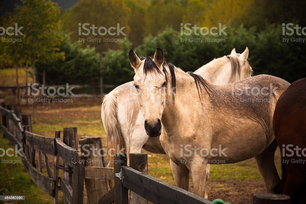 Andalusian Horses on a Ranch stock photo