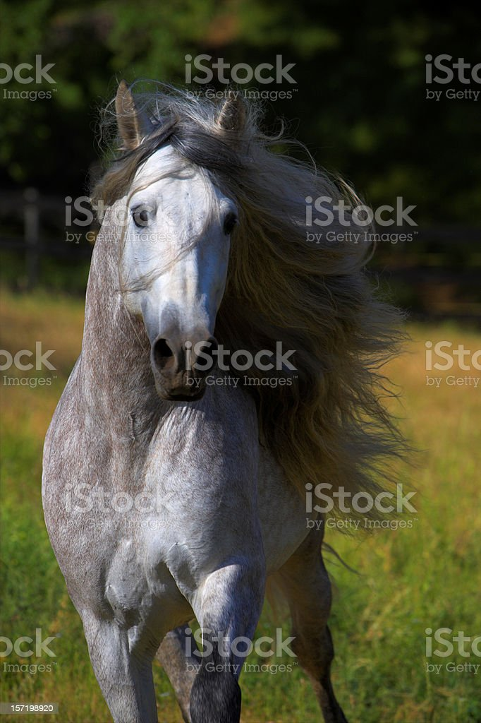 Andalusian Stallion long mane running in a pasture royalty-free stock photo