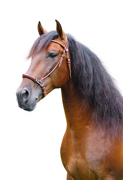 andalusische stallion - andalusier pferd stock-fotos und bilder