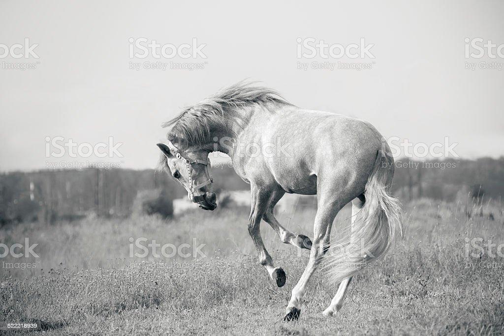 Weißen andalusischen Pferd spielen - Lizenzfrei Pony Stock-Foto