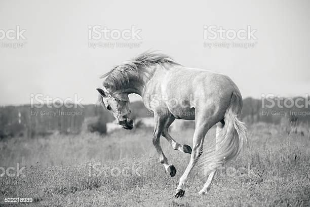 Weißen Andalusischen Pferd Spielen Stockfoto und mehr Bilder von Pony