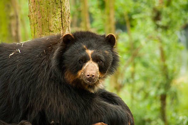 Andean Bear stock photo