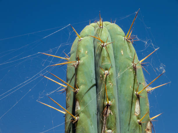 Andean cactus with cobwebs stock photo