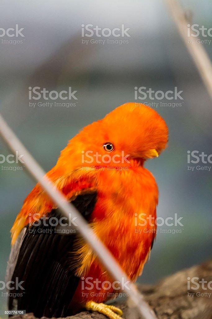 Andenklippenvogel (Rupicola Peruvana) – Foto