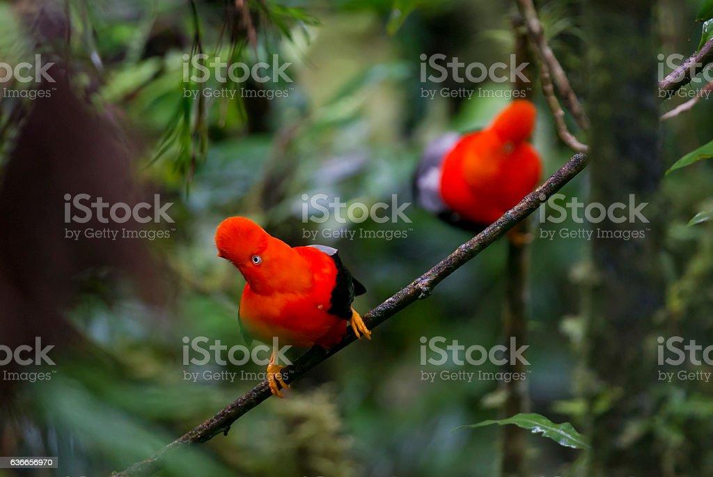 Andenklippenvogel – Foto