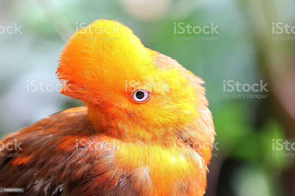Anden cock von der rock Vogel der rupicola rupicola peruvianus – Foto