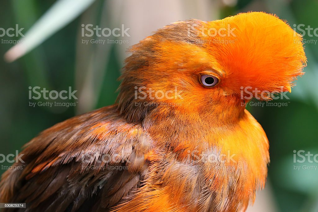 Andean cock-of-the-rock bird of the Rupicola rupicola peruvianus stock photo