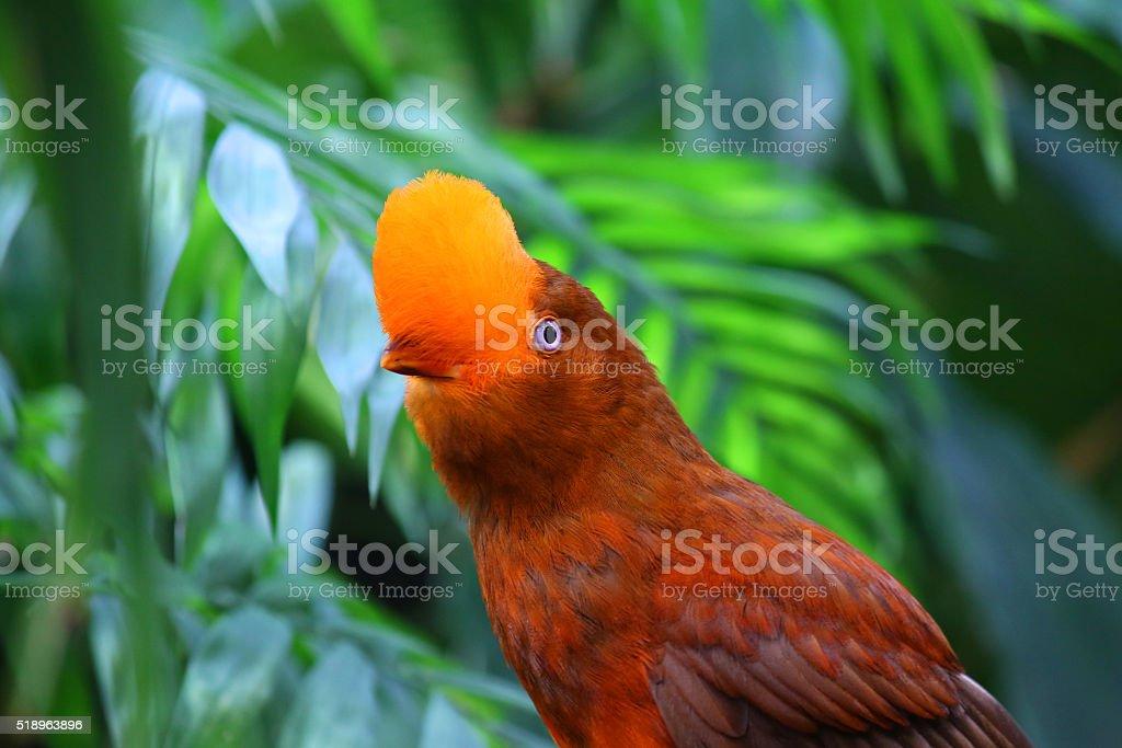Anden cock of the rock Vogel Rupicola Rupicola peruvianus – Foto