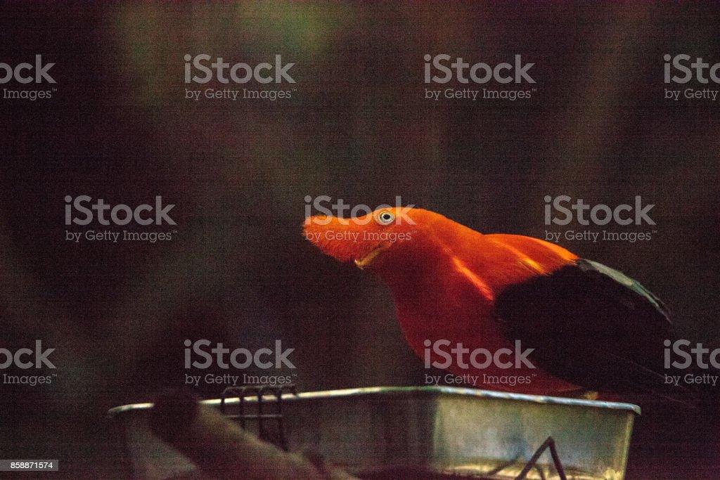 Anden Naturschutzsystem genannt Rupicola peruvianus – Foto
