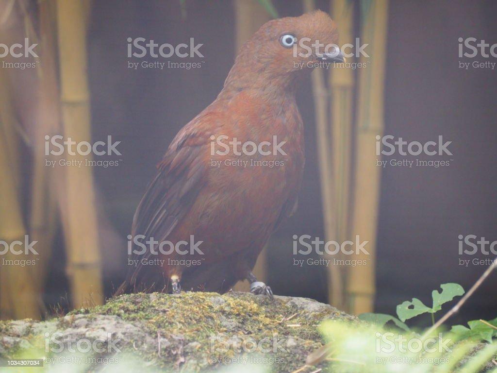 Anden Naturschutzsystem (wissenschaftlicher Name: Rupicola Peruvianus) – Foto