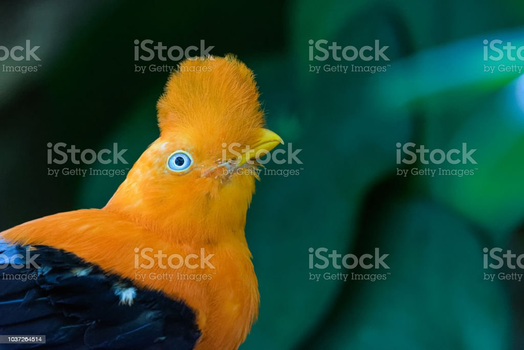 Andean Cock of the rock – Foto