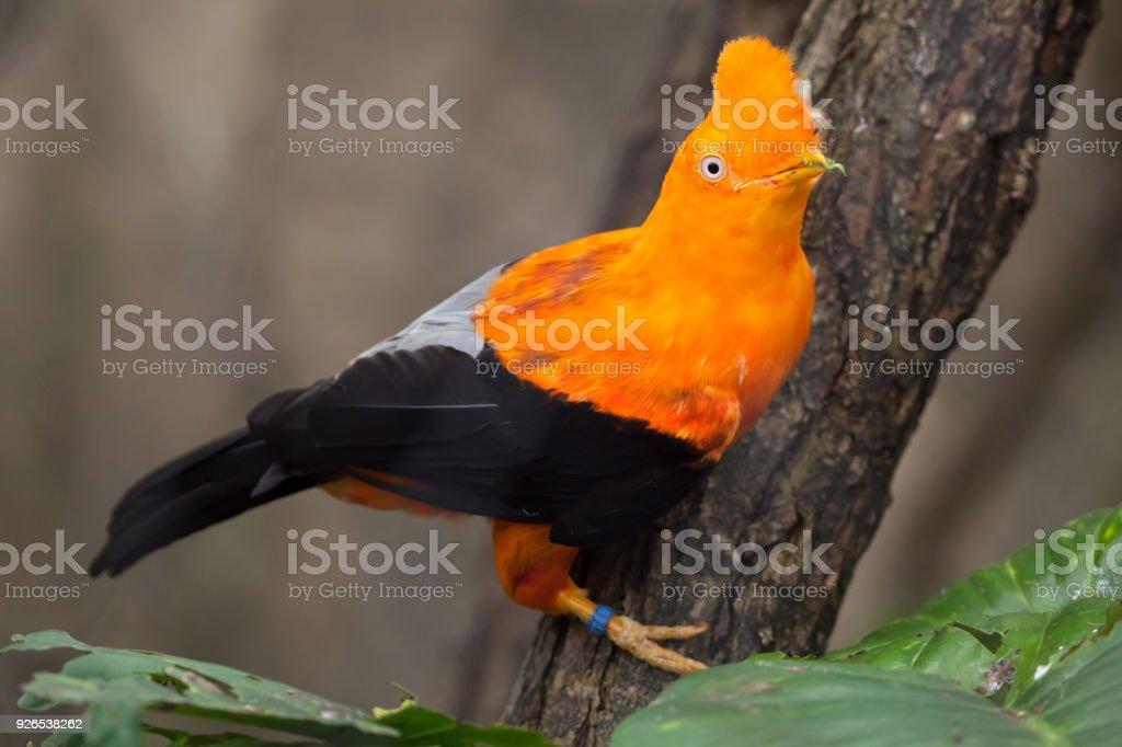 Anden Naturschutzsystem (Rupicola Peruvianus) – Foto
