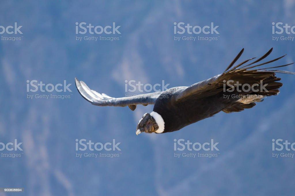 Andean Condor (Vultur gryphus) at Peru's Colca Canyon stock photo