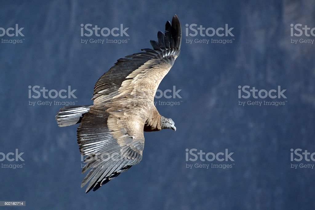 Andean condor flying in the Colca Canyon Arequipa. stock photo