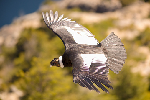 Andean condor flying over the Andean Mountain Range.