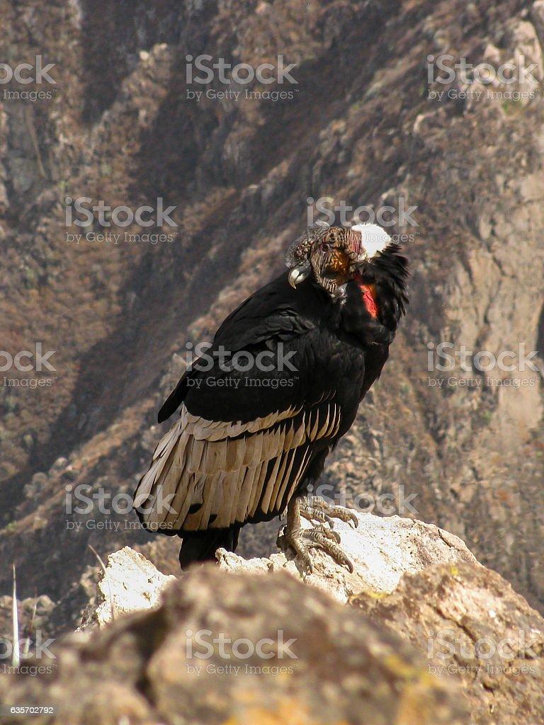Andean Condor in Colca Canyon, Peru royalty-free stock photo