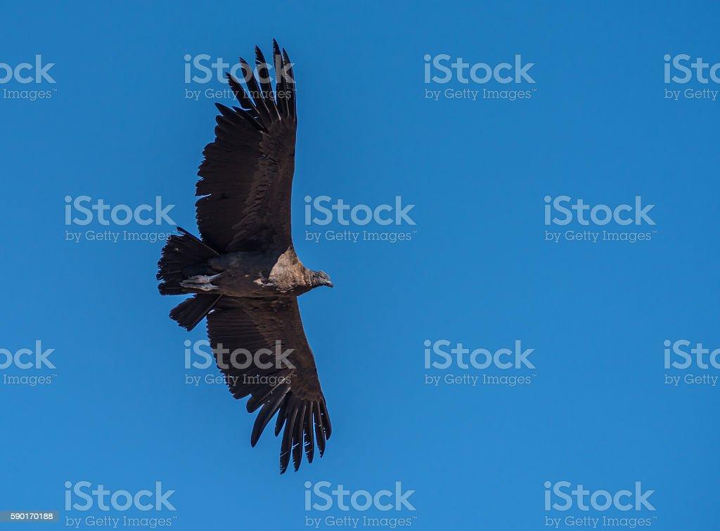 Andean condor, national symbol of Peru stock photo
