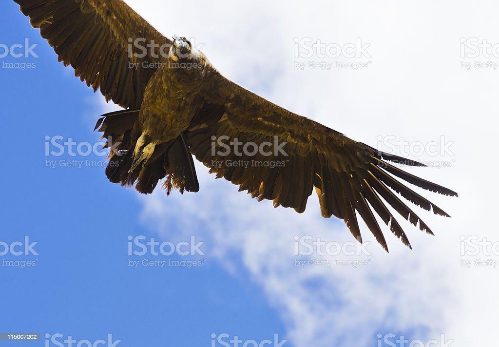 Andean Condor royalty-free stock photo