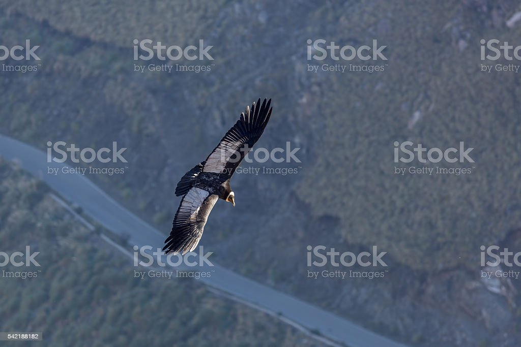 Andean Condor stock photo