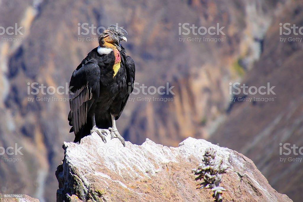 Andean Condor sitting at Mirador Cruz del Condor stock photo