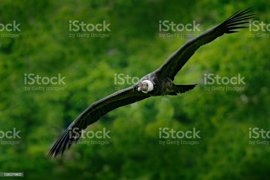 Andean Condor Vultur Gryphus Big Birds Of Prey Flying Above The Mountain Vulture In The Stone Bird In The Nature Habitat Peru Rock Mountain With Big Bird Vulture Wildlife Fly Image Stock