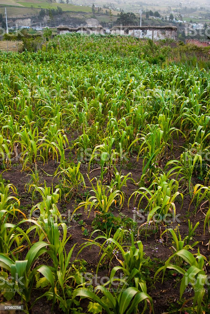 Andean Corn royalty-free stock photo