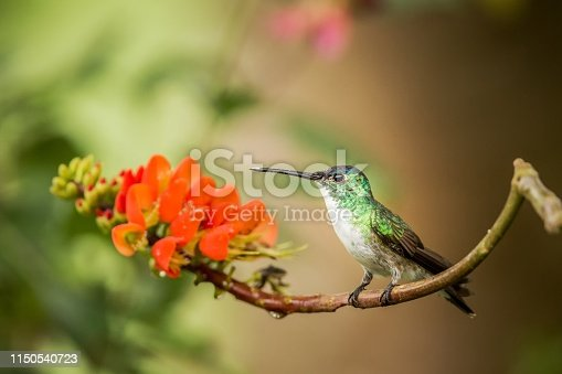 Andean emerald sitting on branch with orange flower, hummingbird from tropical forest sucking nectar from blossom,Colombia,bird perching,tiny beautiful bird resting on flower in garden,nature scene