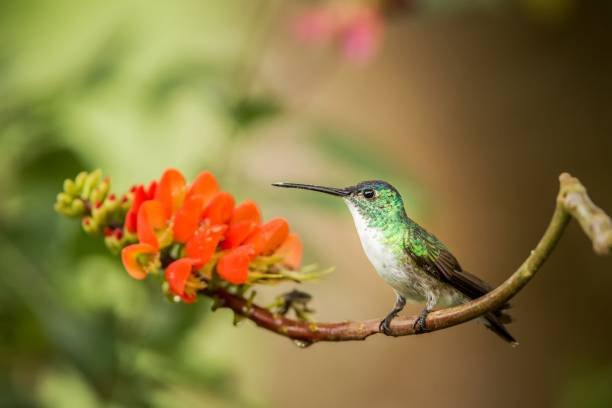 andes emerald zittend op tak met oranje bloem, kolibrie uit tropisch bos zuigen nectar uit bloesem, colombia, vogel perching, kleine mooie vogel rusten op bloem in de tuin, natuur scene - ornithologie stockfoto's en -beelden