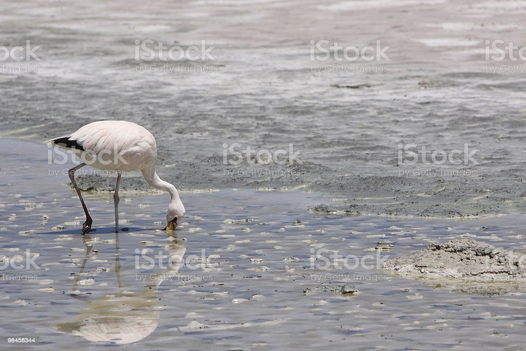 Andean Flamingo in Bolivia royalty-free stock photo