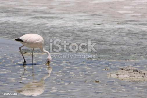 Andean Flamingo In Bolivia Stock Photo & More Pictures of Altiplano