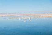 Pink Flamingos in the lagoon, Atacama Desert