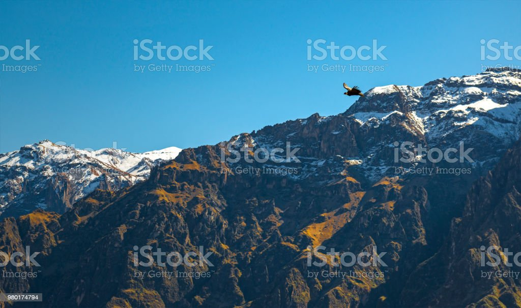Andes Condor in the Colca Canyon of Peru stock photo
