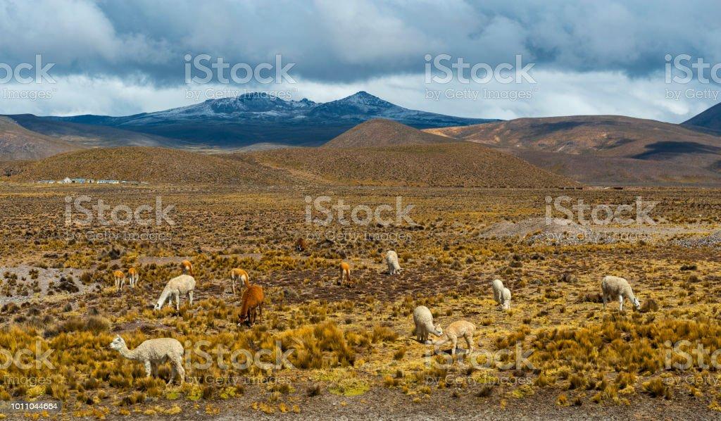 Andes Mountain Range Wildlife, Peru stock photo