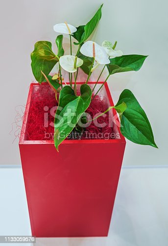 Andre Anthurium is blooming white flowers in a large red flowerpot