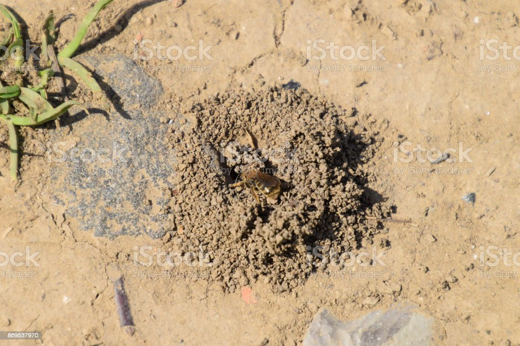 Andrena bee at the entrance to its nest stock photo