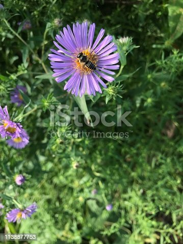 Andrenid Bee on Chicory Wild Flower
