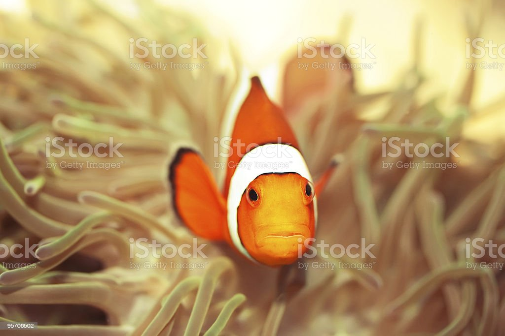 Anemone and clownfish royalty-free stock photo