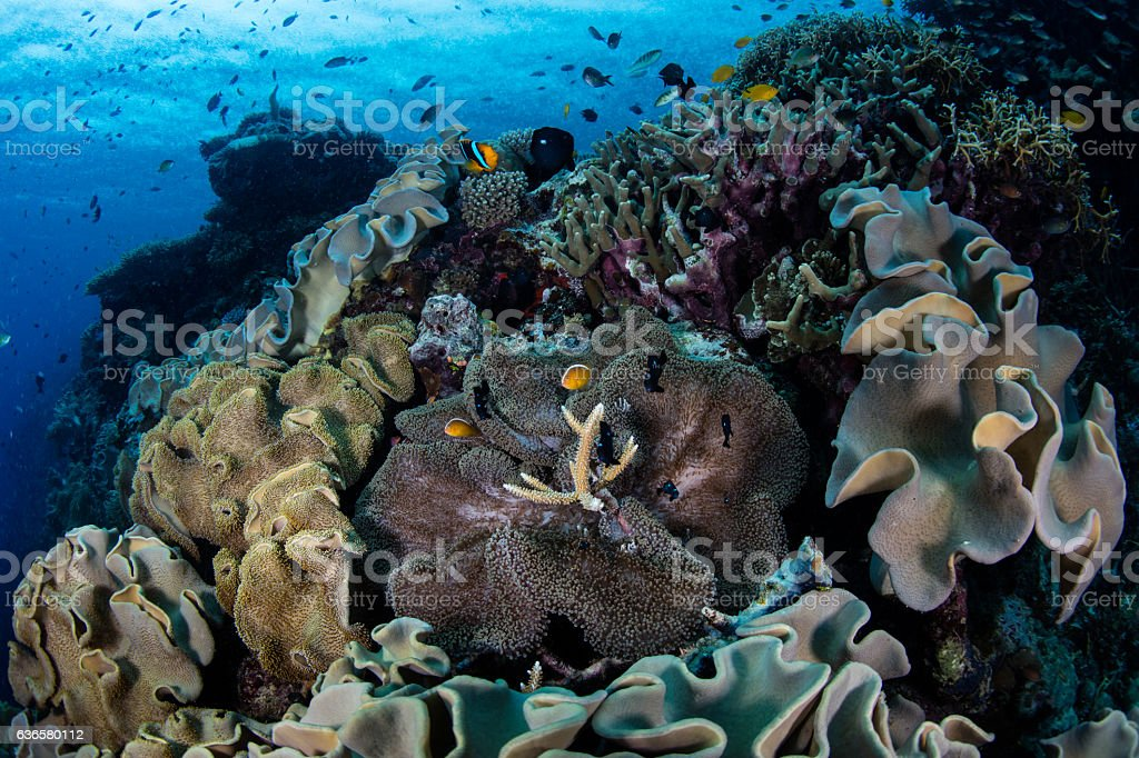 Anemone and Coral Reef stock photo