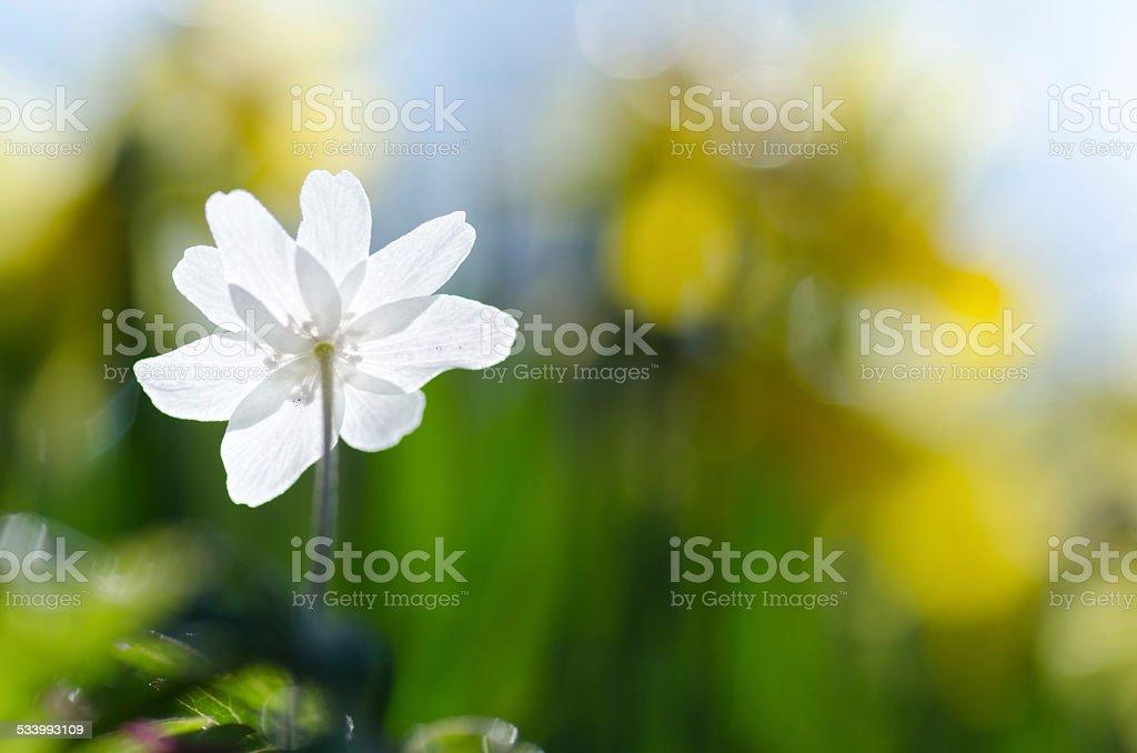 Anemone back closeup stock photo