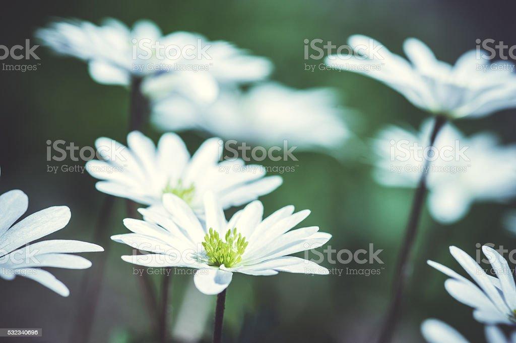 Anemone Blanda (Greek Windflower) in the garden stock photo