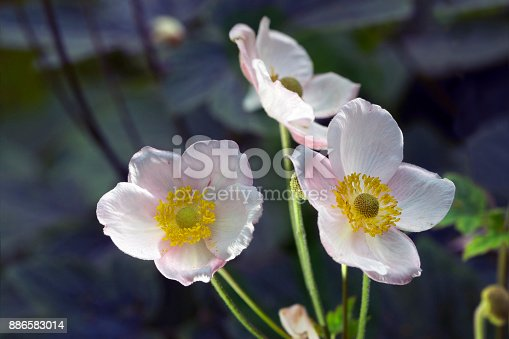 Anemone branch with blossom flowers