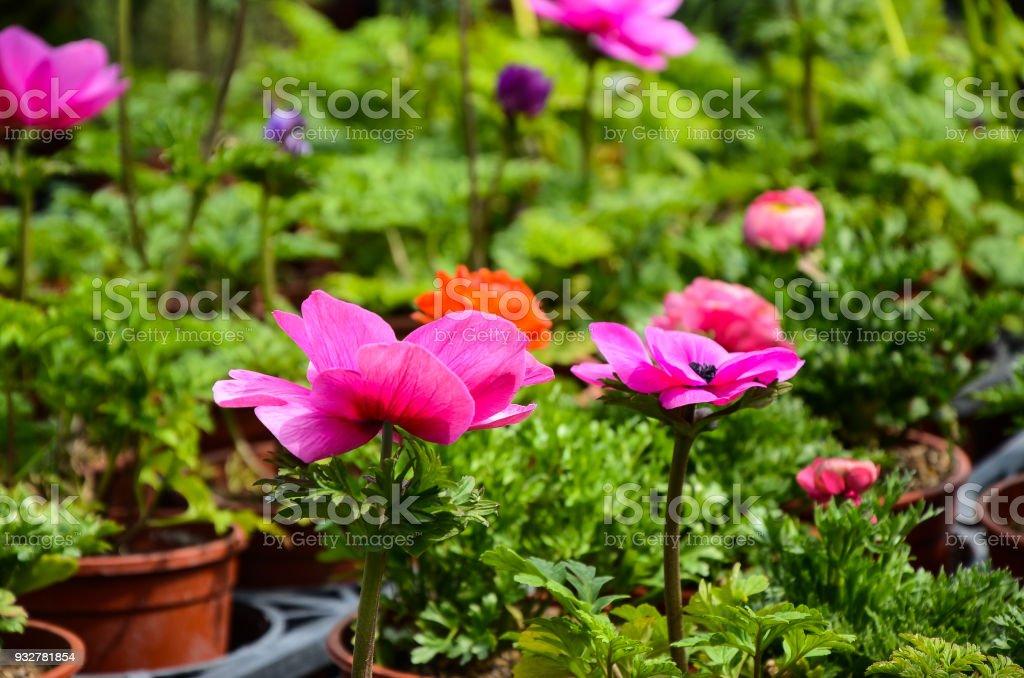 Anemone chinensis Poppy Anemone Windflower stock photo