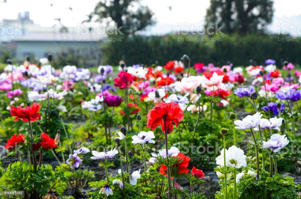 Anemone chinensis ,Poppy Anemone Windflower stock photo