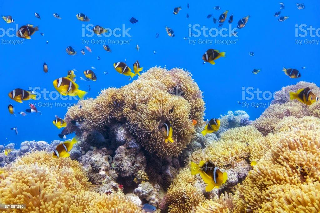 Anemone City Wadi Gimal - Sea anemones and big school of clownfish in Red Sea near Marsa Alam - Egypt stock photo